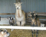 Alpacas resting in the stables