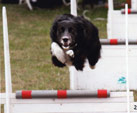 Tara at a Flyball event